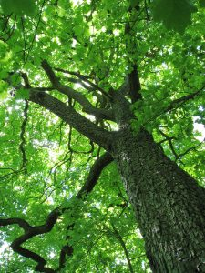 Sorbus_torminalis_Trunk_and_canopy